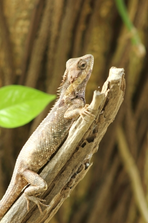 Asian lizards in Asia. Live in the woods and houses