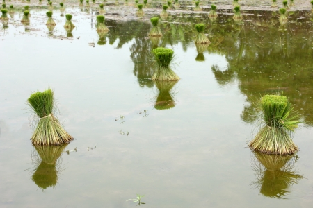 the throughout: Rice seedlings in the field throughout the season for transplanting cultivation.