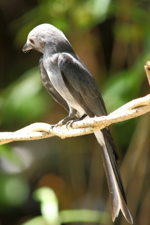 ashy: Ashy Drongo: Dicrurus leucophaeus migratory and resident birds. Found it tricky forest and garden.