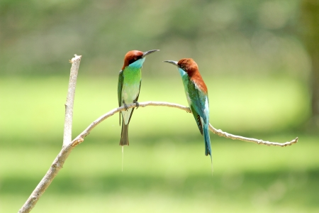 Neck blue birds eat bees live in groups. Nest by digging holes like sand habitats found in the south of Thailand. Stock Photo