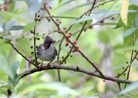 Burmese Yuhina: yuhina humilis is a rare bird found only at Mae Wong National Industrial Neighbourhood eat fruits and small insects Stock Photo