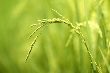 Rice production in Thailand is rice exporter in the world. Thailands rice is the staple food Stock Photo