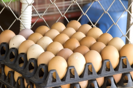 scored: Eggs do not vary greatly. Cannibalism popular worldwide for it scored a good taste.