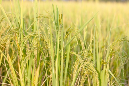 exporter: Rice production in Thailand is rice exporter in the world. Thailands rice is the staple food Stock Photo