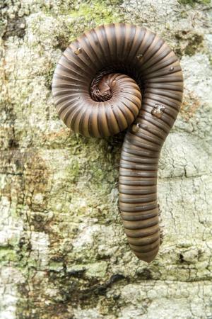 small reptiles: Millepiedi hanno le gambe e piccoli rettili che vivono vicino a case e foresta. Archivio Fotografico