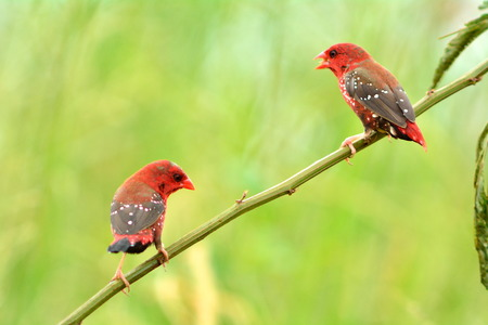 Red Avadavat (Amandava amandava) in the breeding season. Males have beautiful hair red polka dot feed in pastures Stock Photo