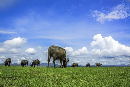mechanization: Thai buffalo were close to zero. With more people turning to mechanization