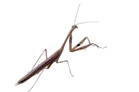 predatory insect: Green Preying Mantis (Mantis religiosa) isolated on white background.
