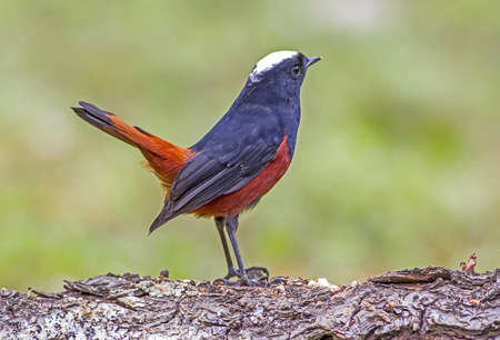 River chat : chaimarrornis leucocephalus The birds relationship to the river and a waterfall in the living area Stock Photo