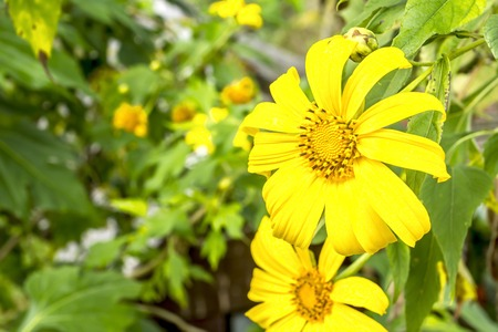 The lotus plant family as the sunflowers wild flowers. Flowering in Winter Stock Photo