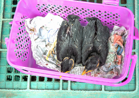 smuggling: common hill myna bird were taken from their parents Thailand Laos border trade