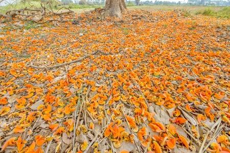 Palas flowers Colors bloom in the dry season in areas Lum field