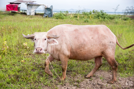 mechanization: Thai buffalo were close to zero. With more people turning to mechanization.