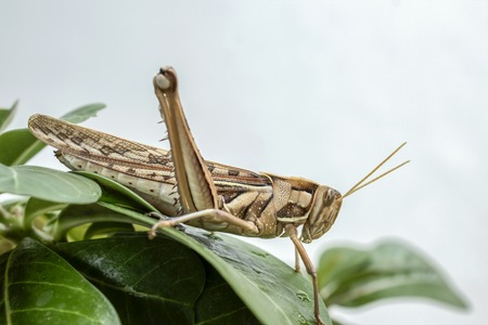 feelers: Locusts destroying horticulture farms feeding damage farmers Stock Photo