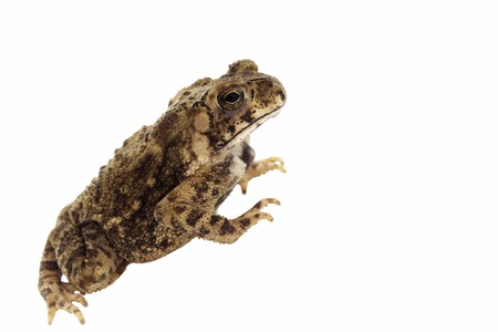 wag: a tailless amphibian with a short stout body and short legs, typically having dry warty skin that can exude poison