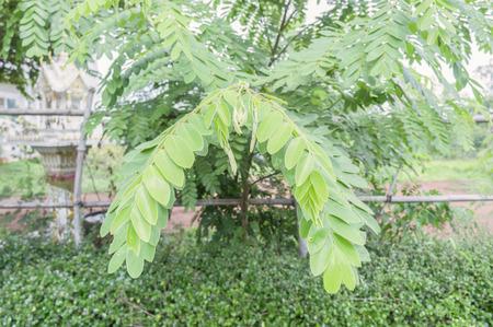 plantando arbol: Las pequeñas hojas verdes, plantación de árboles, vallas (Java Cassia)