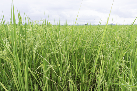 Rice planting season rains Achieved only areas where water
