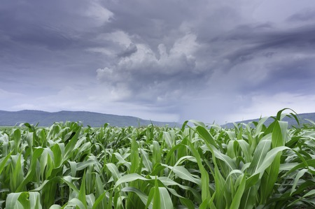 Corn plant and the downpour helped plant the greenery Stock Photo