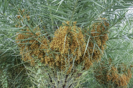 phoenix dactylifera: phoenix dactylifera fruit and medicinal plants are native to the middle ast sweet