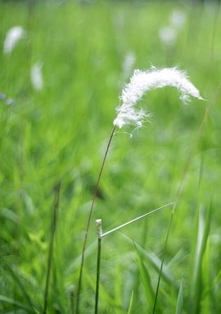 White flowers to the fullest. Split bloom beautifully fluffy Stock Photo