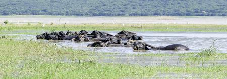 Panorama cutting Cor Development buffalo bathing in the field. Lake Country