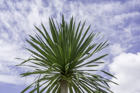 Dracaena loureiri Gagnep with blue sky Stock Photo