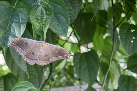 Emperor Moth resting on a tree to lay their eggs behind Stock Photo