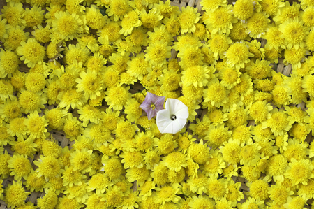 beautiful chrysanthemum morifolium ramat in sun light and lans flare macro with extremely shallow dof soft style Stock Photo