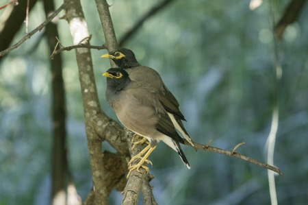 common myna bird: A vocal and noisy common Mynah bird (Myna) (Acridotheres tristis) sitting an a birdbath in a garden with defocussed green tropical foliage in the background Stock Photo