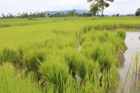 metier: Rice