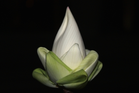 lotus flower on black