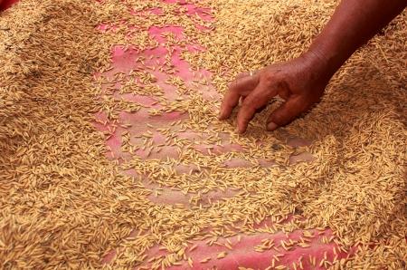 cull:  rice cull