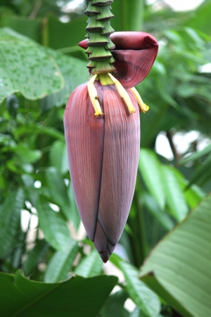acuminate: banana flower on white Background