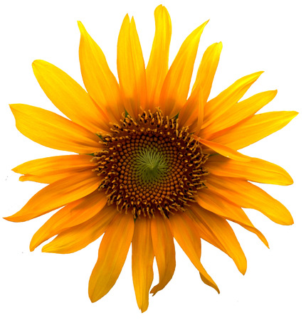 Sunflower on white  Stock Photo