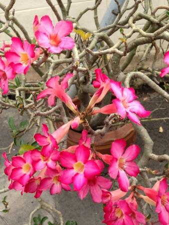 obesum: Desert roses