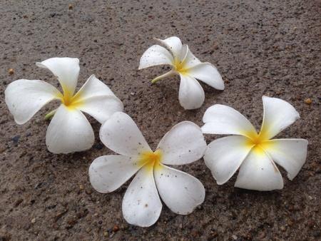 Frangipani flowers on the floor Stock Photo