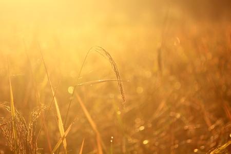 Rice field in morning Light Stock Photo
