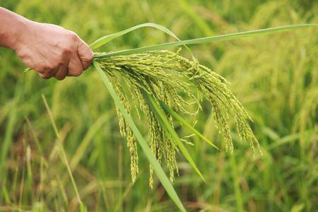 rice spike on hand