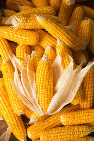 adult offspring: corn