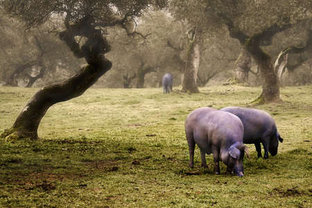 cochinos: Cerdo ib�rico en la dehesa