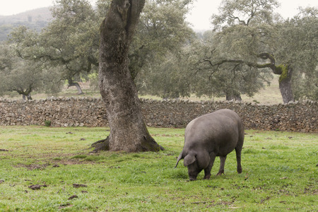 Iberian pig in the meadow photo