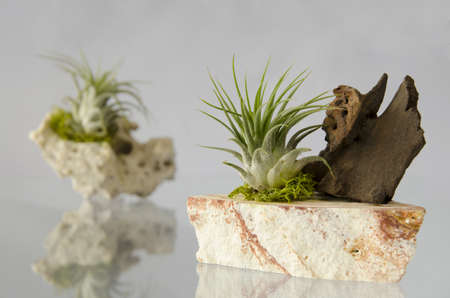 plants species: Tillandsia species are epiphytes  aerophytes = air plants  - so they normally grow without soil while attached to other host  just for support