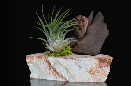plants species: Pianta Tillandsia sulla roccia con pezzo di legno isolato su specie Tillandsia neri sono epifite aerophytes = impianti di aria - in modo che normalmente crescono senza suolo mentre collegato a un altro host solo per il supporto Archivio Fotografico
