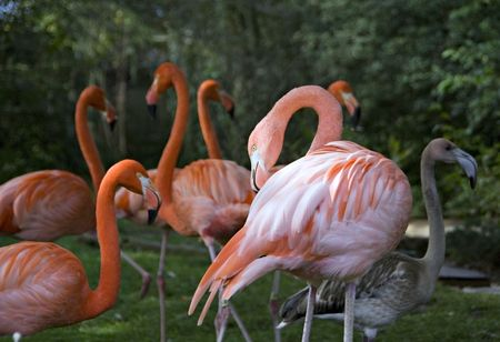 flocking: Flamingos flocking together in a natural way.