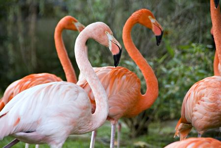 strut: Several flamingos being watched by a hundred people as they strut around a pond.  Stock Photo