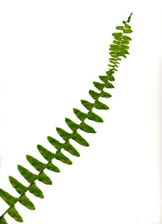 One airy stem of a boston fern plant.