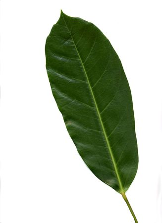 The leaf of a house plant called Schefflera. Reklamní fotografie