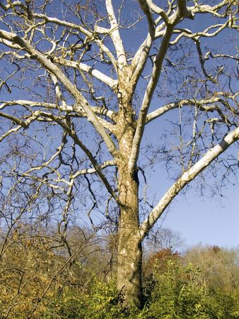 A lone leafless tree against a bright blue sky. Stock Photo - 3297855
