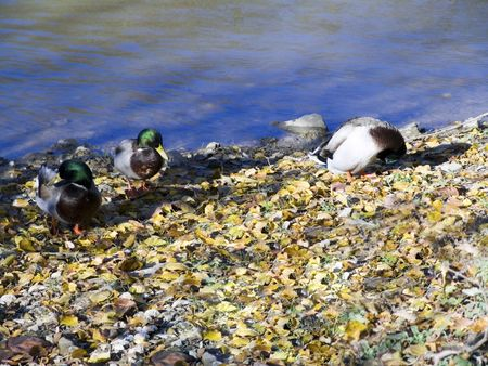 Some ducks along a river bank amog the fallen leaves.  photo