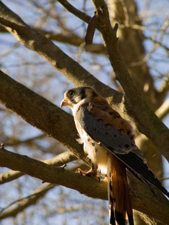 wildlife preserve: A small hawk in a wildlife preserve.  Stock Photo